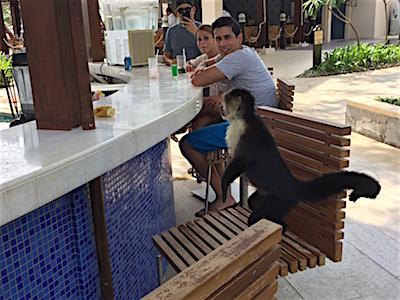 A monkey at Dreams Las Mareas resort in Costa Rica.