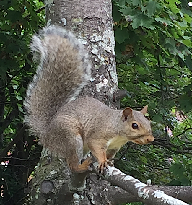 A squirrel at the ready for a bad winter.
