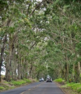 Tree Tunnel in Kawai