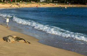 Monk seal at Poipu Beach.